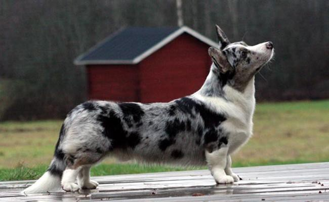 cardigan-welsh-corgi-short-legged-dogs