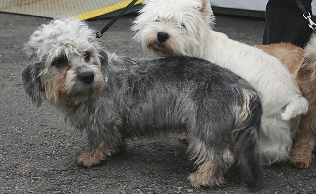 dandie-dinmont-terrier-short-legged-dogs