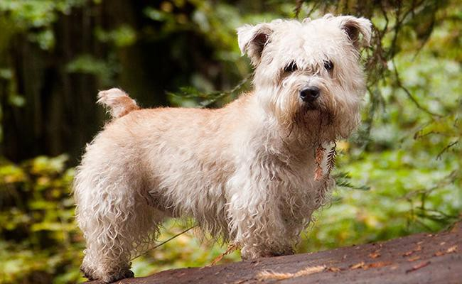 glen-of-imaal-terrier-short-legged-dogs