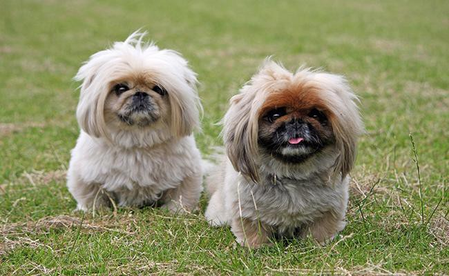 pekingese-short-legged-dogs