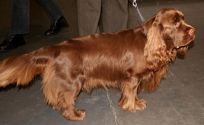 sussex-spaniel-short-legged-dogs