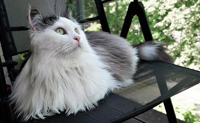 appearance-siberian-cat - Siberian Cat