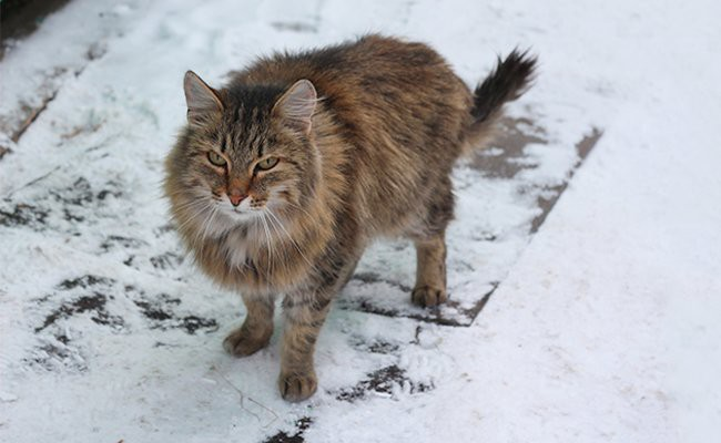 interesting-facts-siberian-cat - Siberian Cat