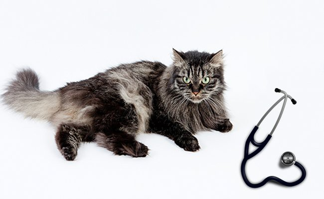 siberian-cat-health-problems - Siberian Cat