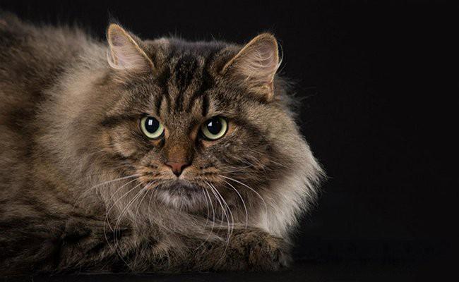 siberian-cat-history - Siberian Cat