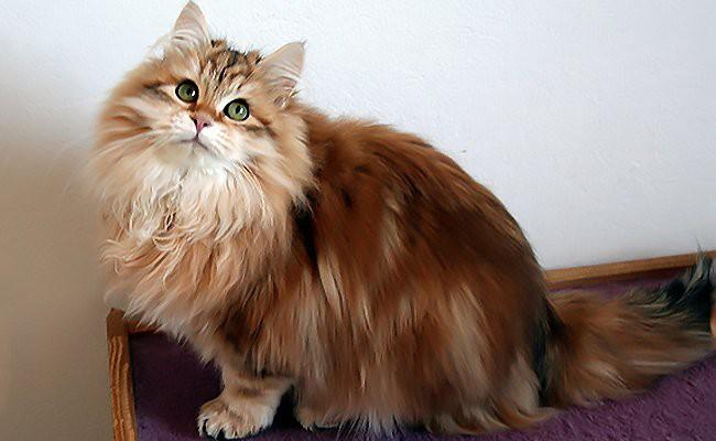 siberian-cat-personality - Siberian Cat