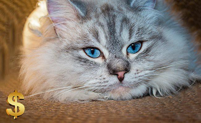 siberian-cat-price - Siberian Cat