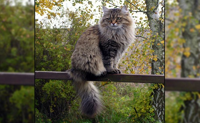 siberian-cat-size-and-lifespan - Siberian Cat
