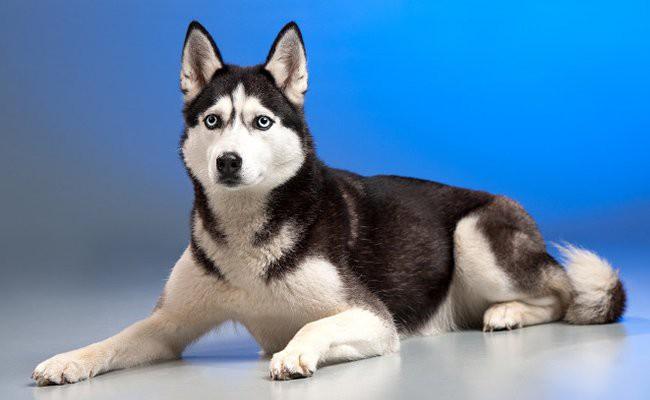 siberian-husky-appearance