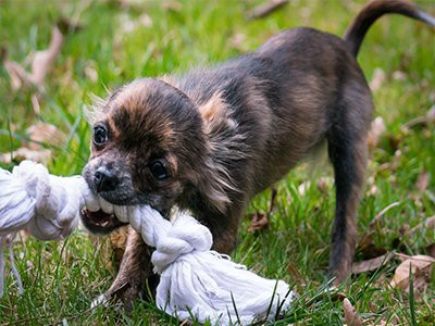 small-dog-breeds-easy-to-train
