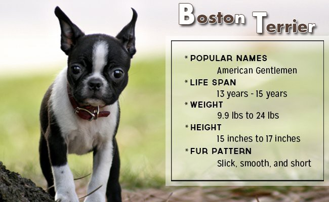 boston-terrier-small-dog - Small Dog Breeds