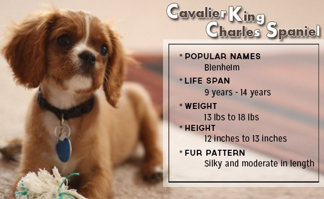 cavalier-king-charles-spaniel-small-dog - Small Dog Breeds