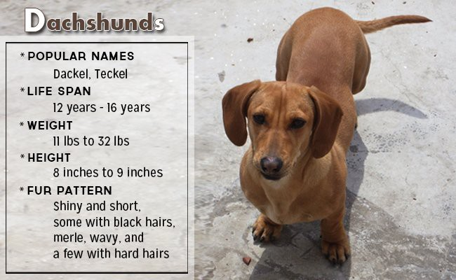 dachshunds-small-dog - Small Dog Breeds