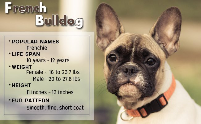 french-bulldog-small-dog - Small Dog Breeds