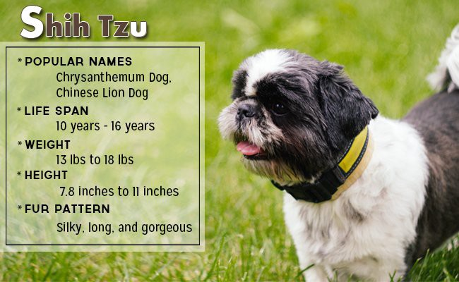 shih-tzu-small-dog - Small Dog Breeds