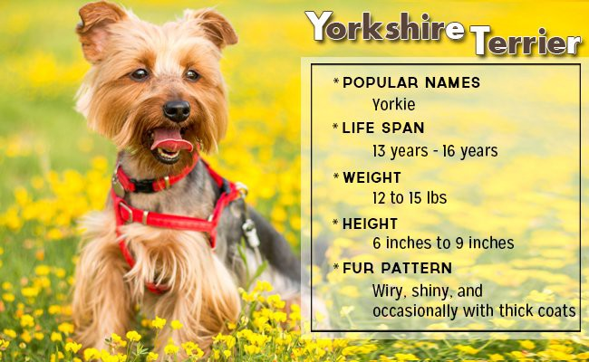 yorkshire-terrier-small-dog - Small Dog Breeds