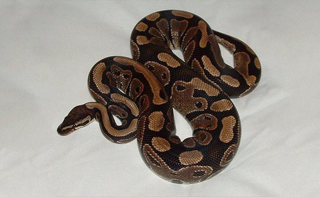 ball-python-snake - Snake Pets