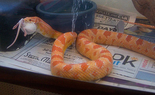 corn-snakes-and-corn-snakes-care - Snake Pets