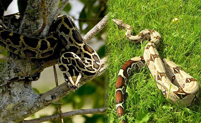 other-breeds-similar-to-ball-python - Snake Pets