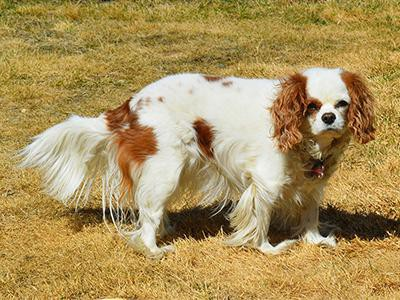 history-of-spaniel-breeds