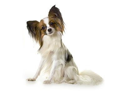 papillon-and-phalene-spaniels-breed