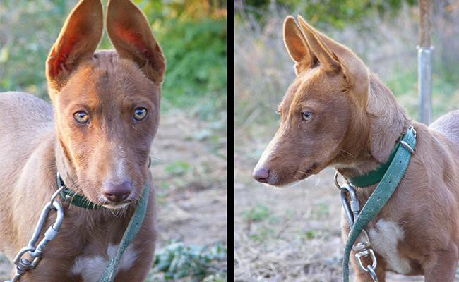 andalusian-hound