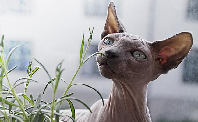 interesting-facts-about-the-sphynx-cats