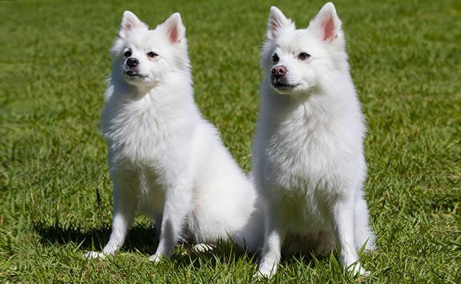 size-weight-of-a-spitz-dog