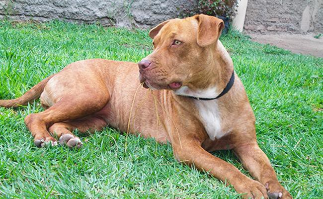 american-pit-bull-terrier-strongest-dog-breeds