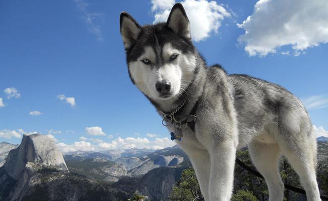 siberian-husky-strongest-dog-breeds