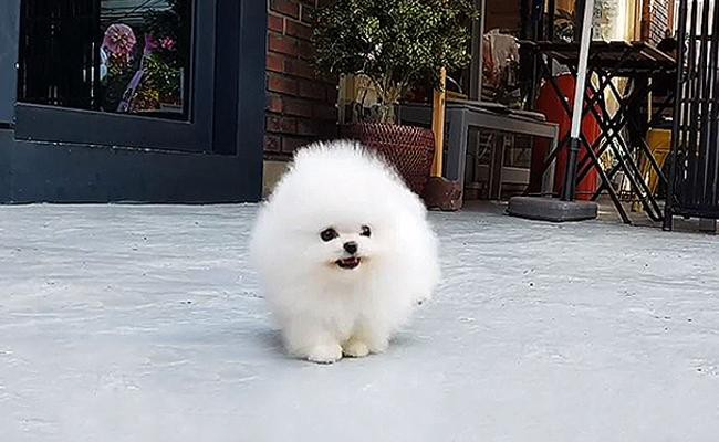 teacup-pomeranian-coat-color-and-appearance