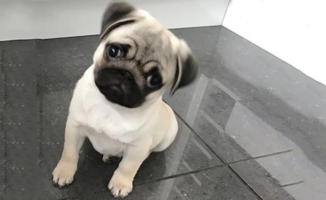 appearance-teacup-pug