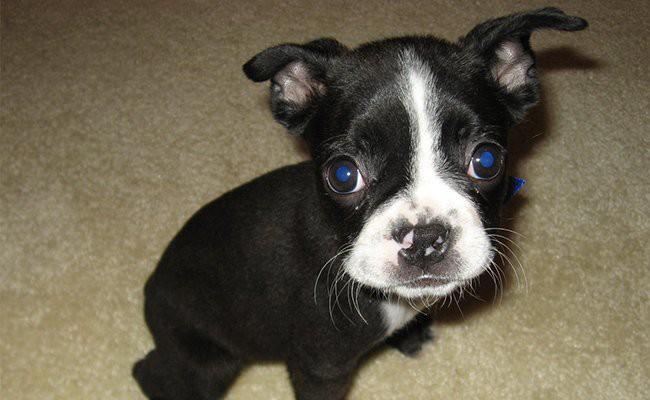 boston-terrier-teacup-dogs