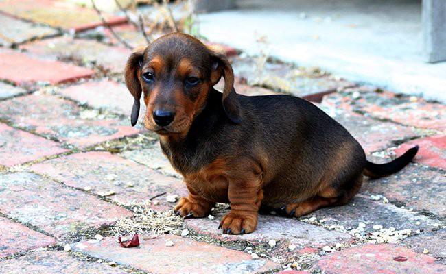 miniature-dachshund-teacup-dogs