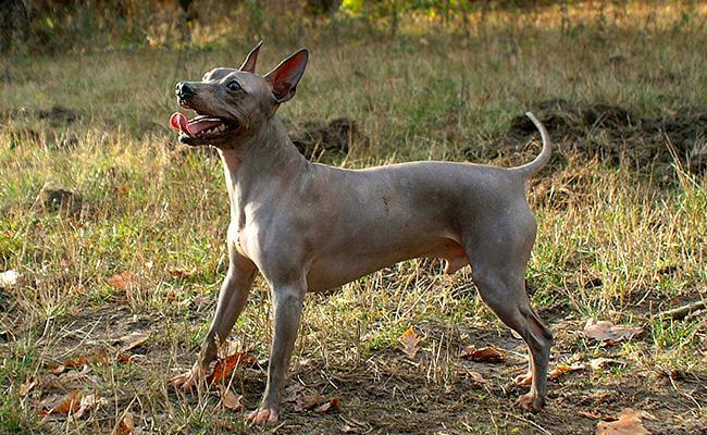 american-hairless-terrier-terrier-dogs