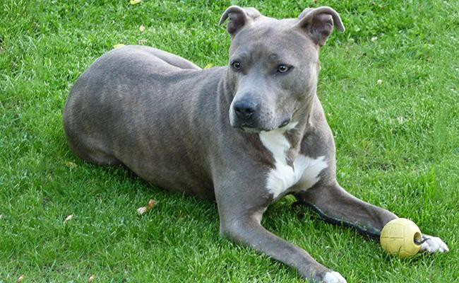 american-staffordshire-terrier-terrier-dogs