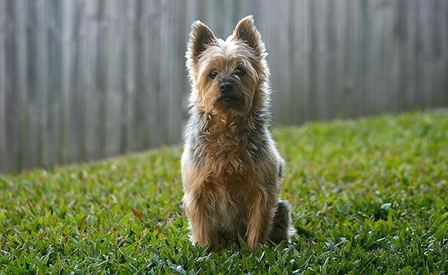 australian-terrier-terrier-dogs