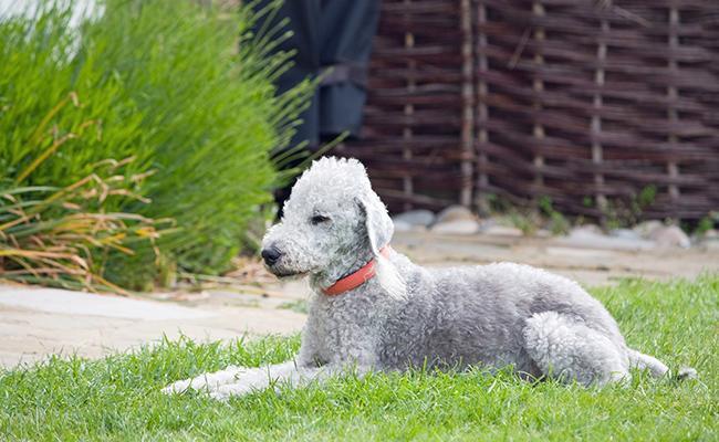 bedlington-terrier-terrier-dogs
