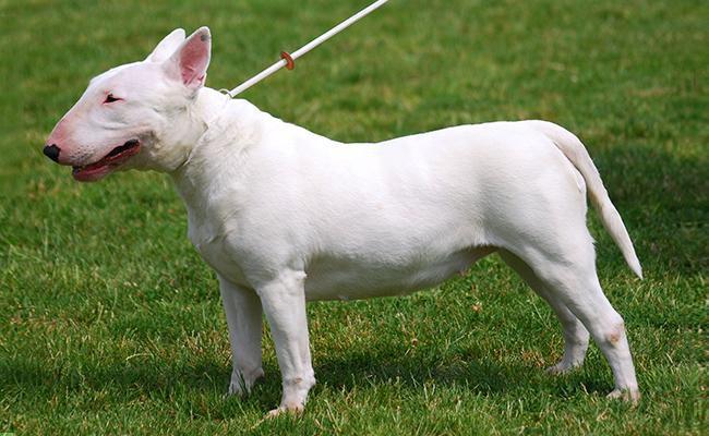 bull-terrier-terrier-dogs
