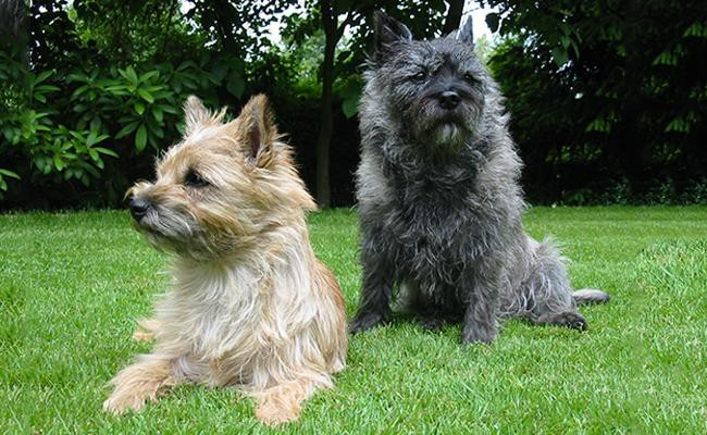 cairn-terrier-terrier-dogs