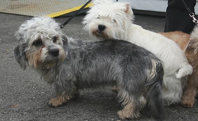 dandie-dinmont-terrier-terrier-dogs