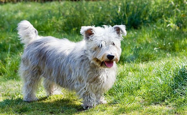 glen-of-imaal-terrier-terrier-dogs