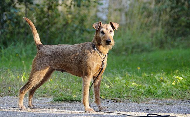 irish-terrier-terrier-dogs