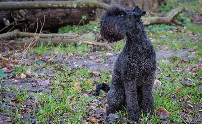 kerry-blue-terrier-terrier-dogs