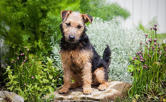 lakeland-terrier-terrier-dogs