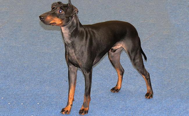 manchester-terrier-terrier-dogs