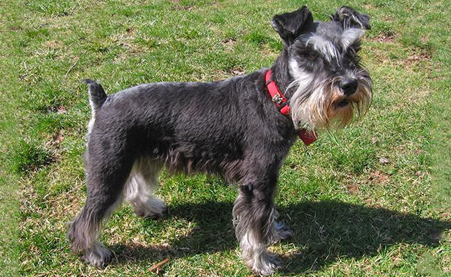 miniature-schnauzer-terrier-dogs