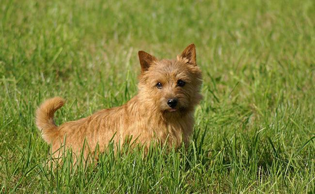 norwich-terrier-terrier-dogs