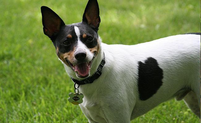 rat-terrier-terrier-dogs