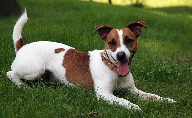 russell-terrier-terrier-dogs